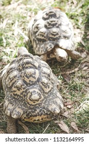 Close up image of two leopard tortoises (Stigmochelys pardalis)