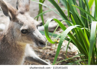 Close up image of a wallaby with copy space