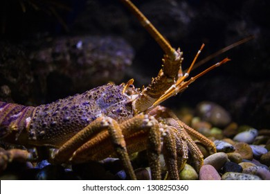 Close up image of a western cape rock lobster underwater