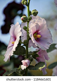 Close up image of white and purple hollyhock flowers side by side with blurred background