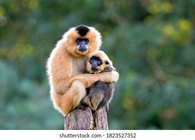 close image of Yellow Cheeked Gibbon monkey (Nomascus Gabriallae) mother with child in the forest
