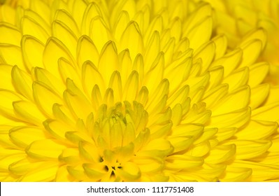 A close up image of a yellow chrysanthemum flower with another one in the background, filling the frame. Centered slightly left.