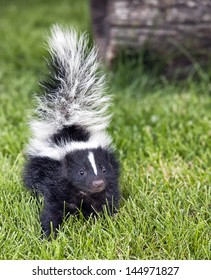 Close up image of a young skunk walking toward the camera.