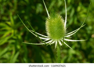 Close up of an immature Fuller's Teasel just getting ready to blossom into a flower. Lower Don Prklands, Toronto, Ontario, Canada.