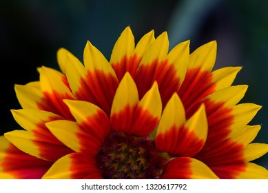 Close up Indian blanket flower and green background