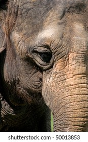 Close up of Indian Elephant