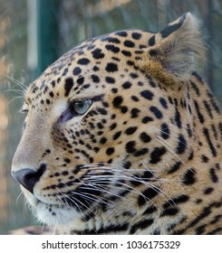 A close up of an Indian leopard's face. Scientific Name- Panthera pardus fusca