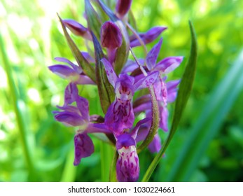 Close up of the inflorescence of the terrestrial Euroasian orchid Dactylorhiza majalis (the western marsh orchid)