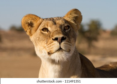 A close up of an inquisitive young lioness's face