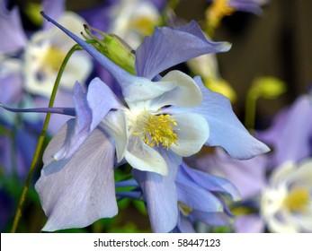 Close up of Iris Flower