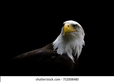 A close isolated image of a Bald Eagle with a Dark Background