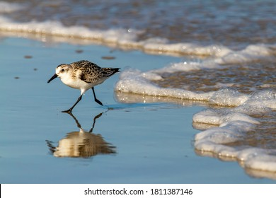 close up isolated image of a semipalmated sandpiper (Calidris pusilla) hunting for sand crabs on wet sand near shoreline with its reflection is visible.