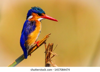 close up of an isolated malachite kingfisher on a broken reed with a blurred background in Chobe national park Botswana