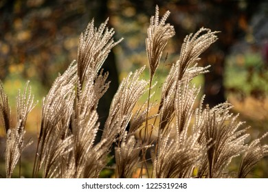 close up isolated perennial grasses golden light