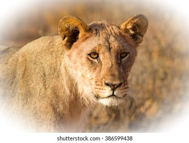 close up of an Isolated Young lioness with a vignetted edge