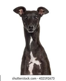 Close up of an Italian Greyhound, Piccolo Levriero Italiano, isolated on white