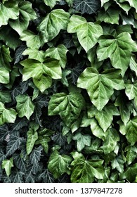 Close up of ivy leaves growing thick on the trunk of a tree