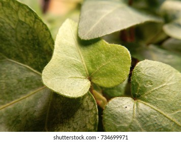 Close up of ivy plant leaf.
