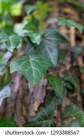 Close up of an ivy plant on a tree