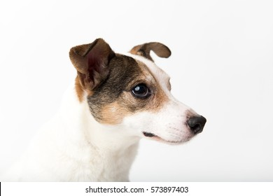 Close Up of Jack Russell Mix Dog Without One Eye Siting on White Background