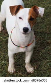 Close up Jack russell terrier dog full face