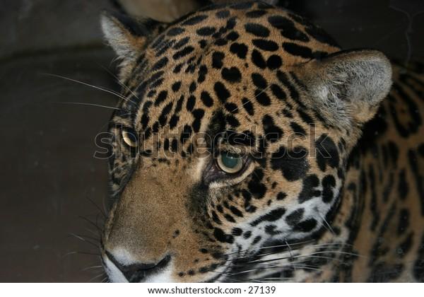 Close up of a jaguar.