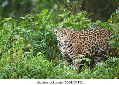Close up of Jaguar in the green trees and grass on the banks of the river in the Pantanal