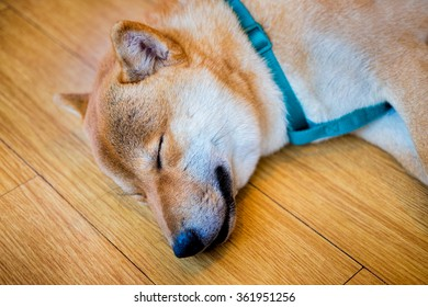Close up Japanese dog is sleeping at the dog cafe.