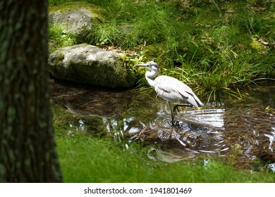 Close up Japanese white egret while walking in clear waterway or canal next to the tree in foreground,beautiful green grass along the waterway in garden ,Japan.