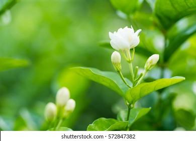 close up jasmine flower in a garden