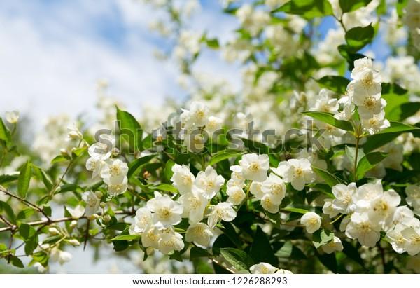 закрыть цветы жасмина в саду