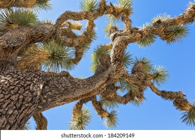 close up of a joshua tree branches against a blue sky