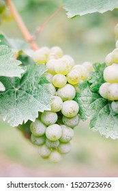 Close up of juicy ripe green white wine grapes clustered on vines in German vineyard. Shallow depth of field with copy space.