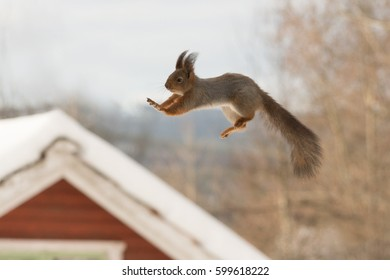 close up of a jumping red squirrel in the air