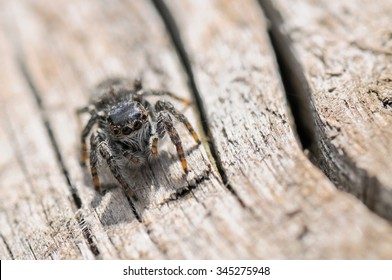 Close up of a jumping spider on wood