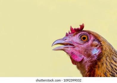 Close up Jungle Fowl chicken.