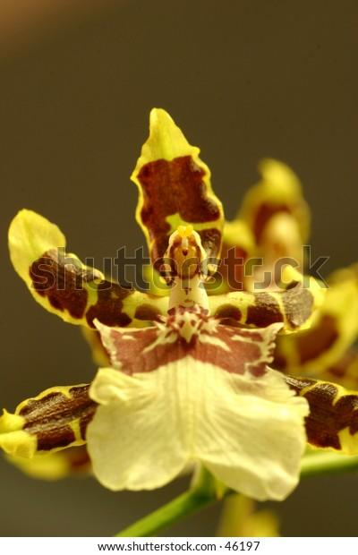 A close up of a Jungle Monarch Orchid - Genus: Colmanara