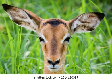 Close up of a juvenile Impala with green grass background