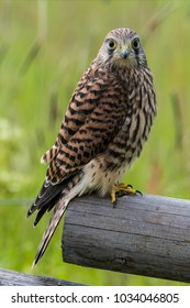 A close up of the juvenile Kestrel perching on the edge of the old wooden fence with a green defocused background