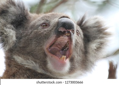 Close up of a juvenile koala in the wild yawning showing his mouth wide open.
