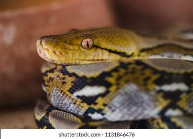 Close up Juvenile Reticulated Python (Python reticulatus) coiling.