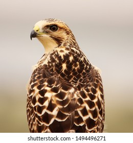 Close Up of a Juvenile Swainson's Hawk