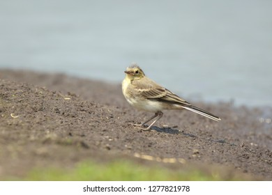 Close up of a juvenile White Wagtail, Motacilla alba. A bird with white, gray and black feathers, the young birds are yellow. The White Wagtail is the national bird of Latvia