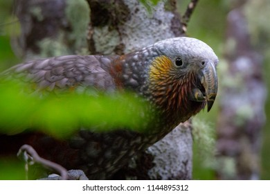 A close up of the kaka, a large parrot with earthy colouring and bright orange under its wings