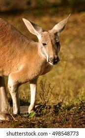close kangaroo portrait