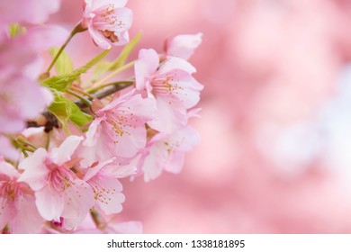 Close up of Kawazu cherry blossoms in full bloom