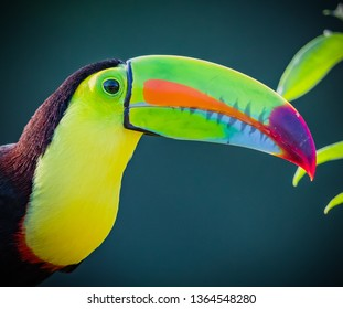 Close up of keel-billed toucan facing right