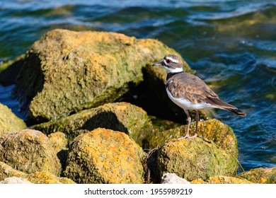 Close up of a Killdeer bird standing on one of the mossy yellow boulders along the shoreline of a large lake.