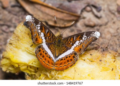 Close up of Knight (Lebadea martha) butterfly feeding on the fruit