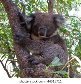 Close up of Koala Bear in Australian Eucalyptus tree